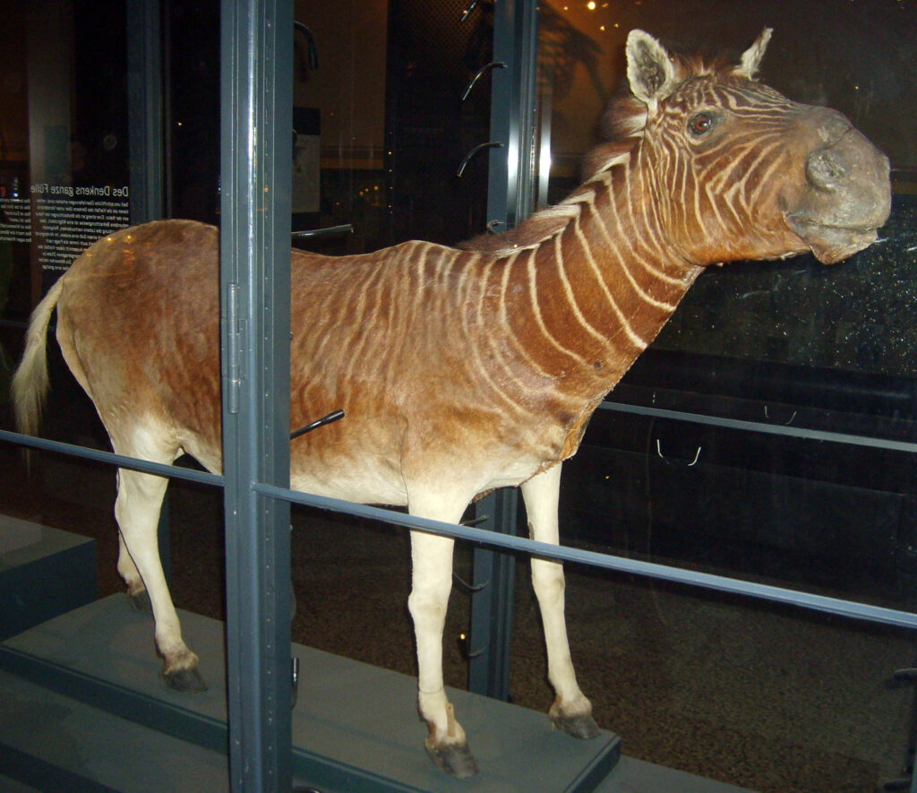 A stuffed and mounted quagga in Berlin's Natural History Museum