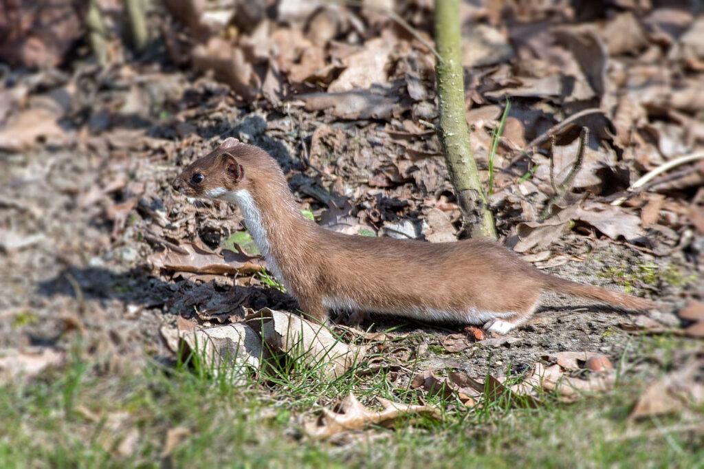 A least weasel (Mustela nivalis)