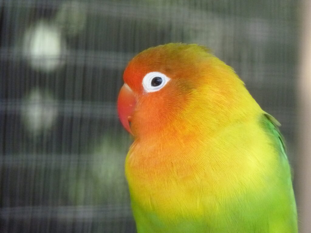 Small parrots such as this Fischer's lovebird (Agapornis fischeri) are very susceptible to things in your house that are toxic to parrots