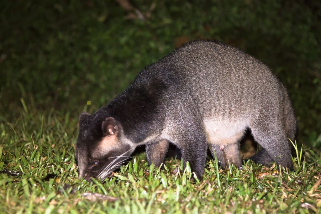 A masked palm civet, associated with the SARS outbreak