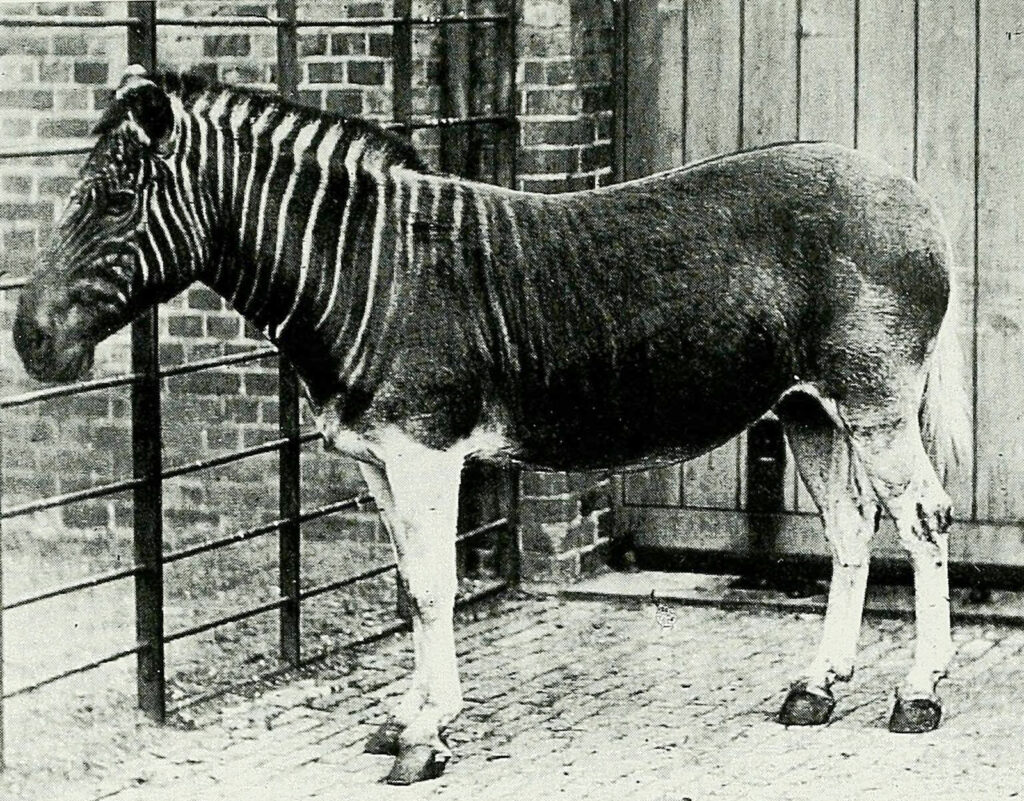 And old photograph of a quagga at London Zoo