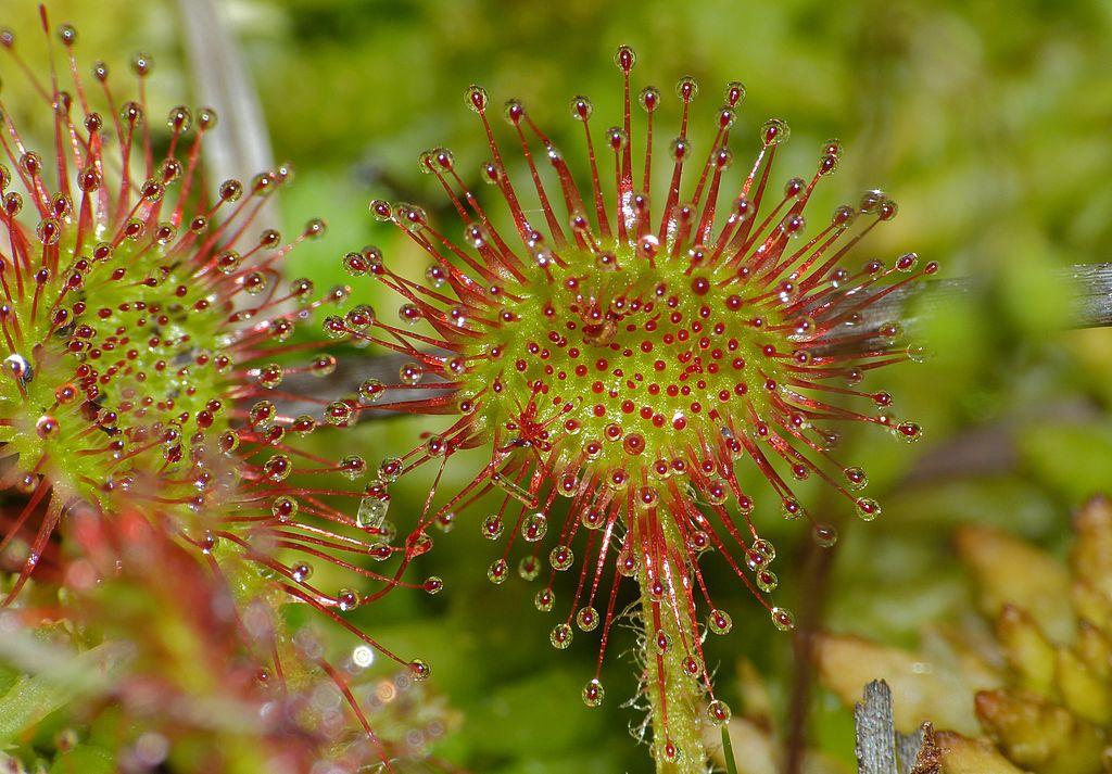 A round-leafed sundew Drosera rotundifolia