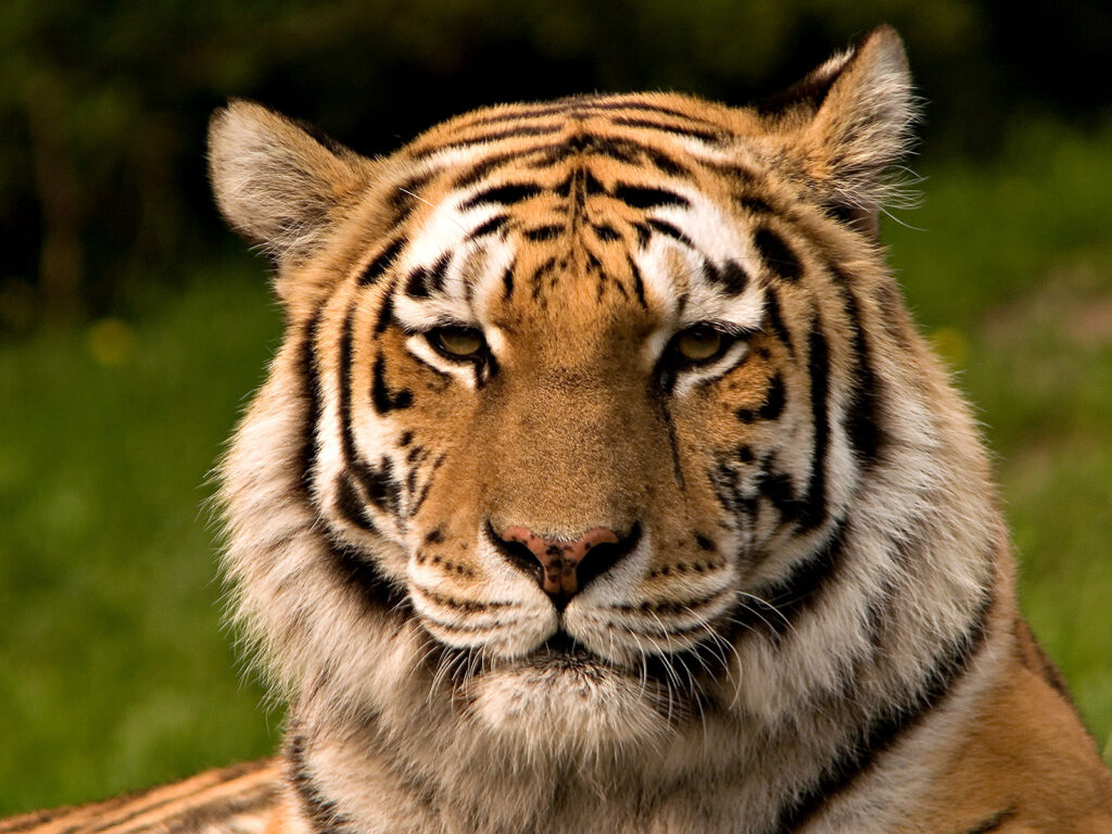 A tiger (Panthera tigris) looking at the camera