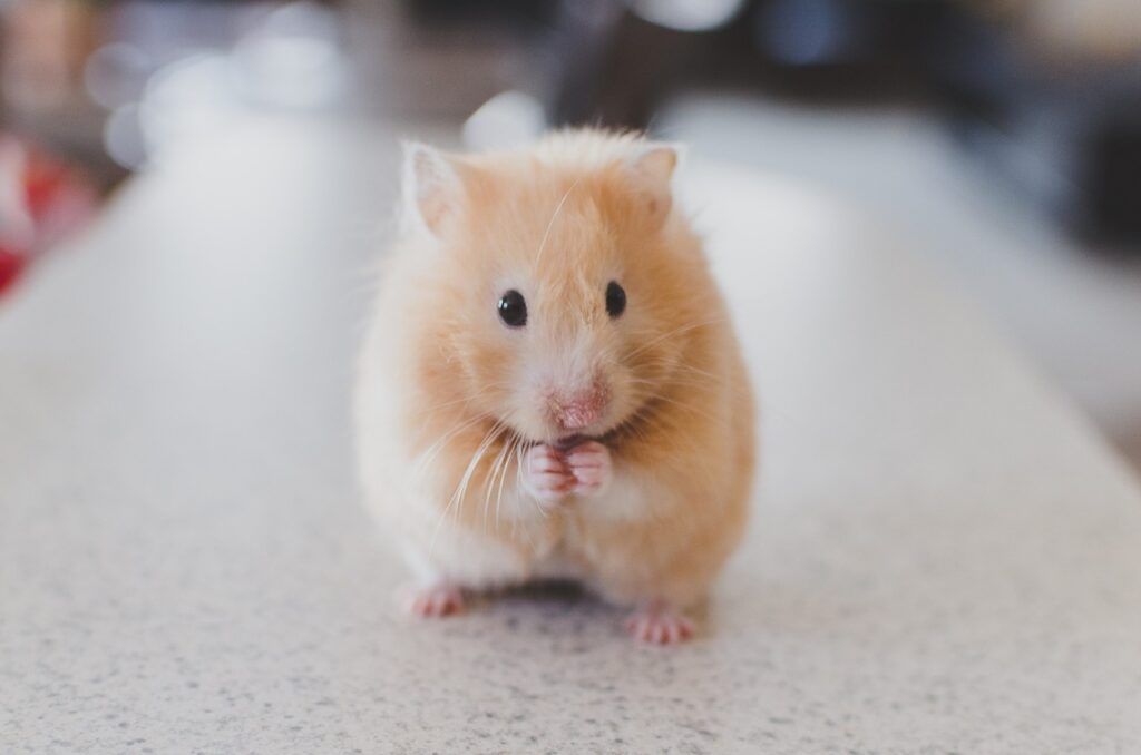 A Syrian hamster