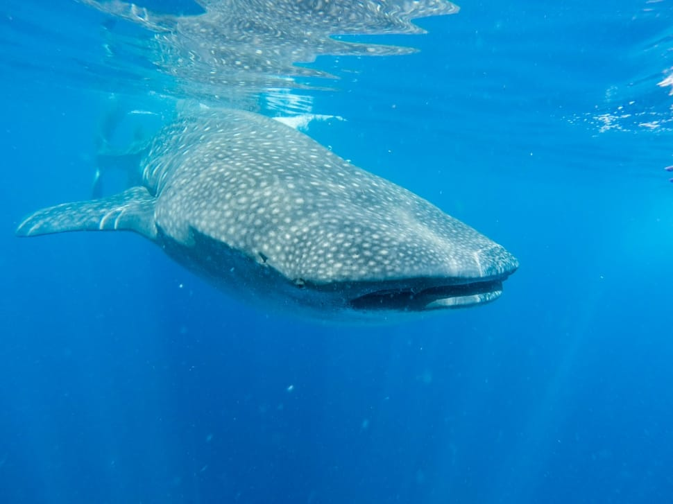 A whale shark - the biggest fish in the world - swimming in the ocean