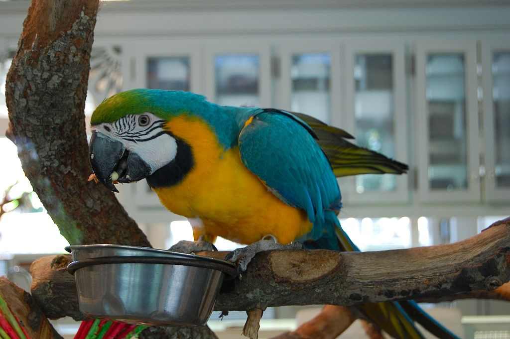 A pet blue-and-yellow macaw eating from a dish