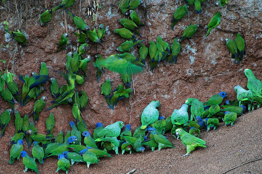Several species of green parrots at a clay lick