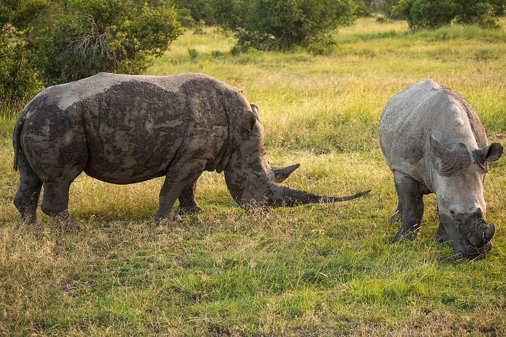 Two southern white rhino