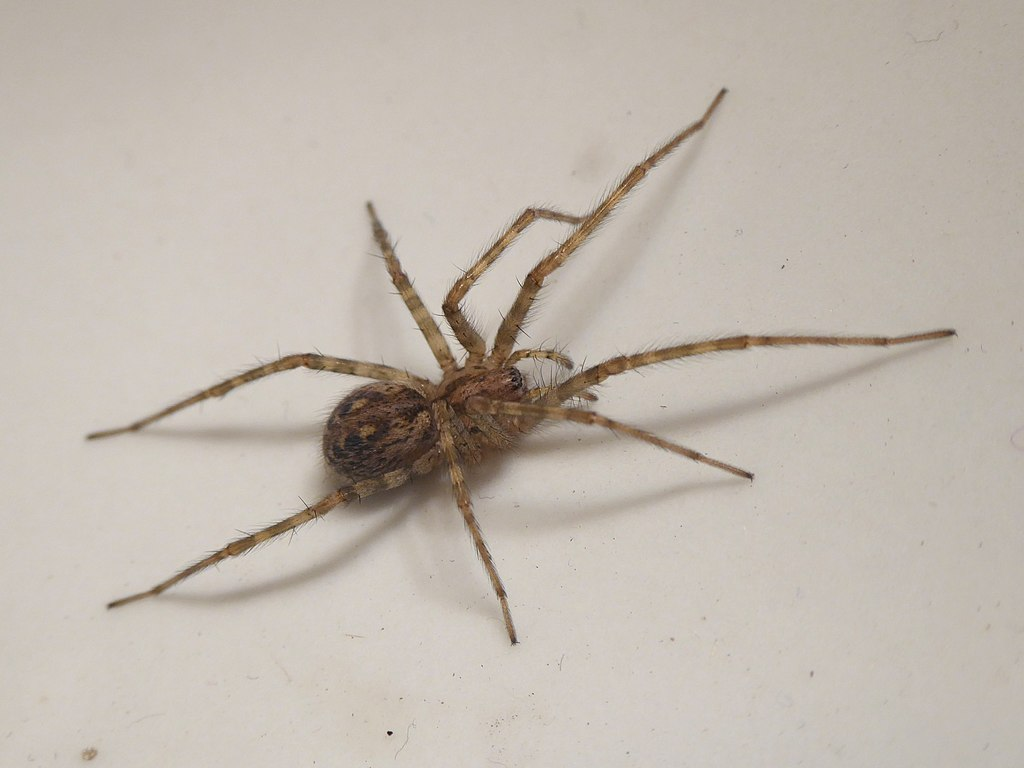 The house spider Tegenaria parietina, also called the cardinal spider