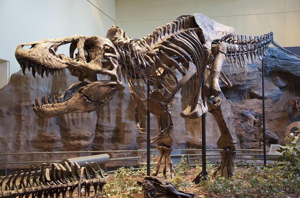 A reconstruction of a Tyrannosaurus rex, or T-rex