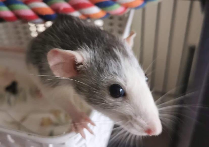Rats make surprisingly good starter pets