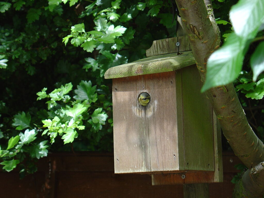 A nestbox with a blue tit chick poking its head out of the entrance