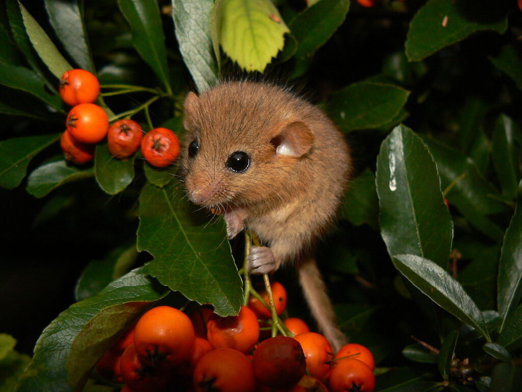 A hazel dormouse climbing up some plants