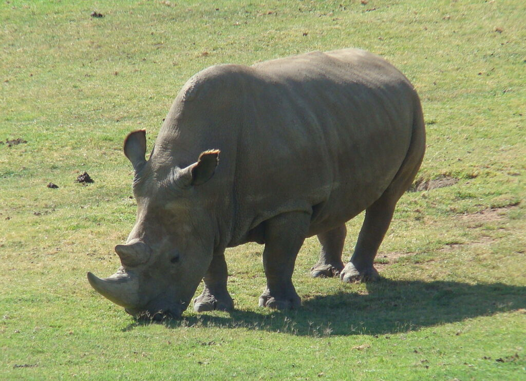 The rarest rhino in the world: the northern white rhino