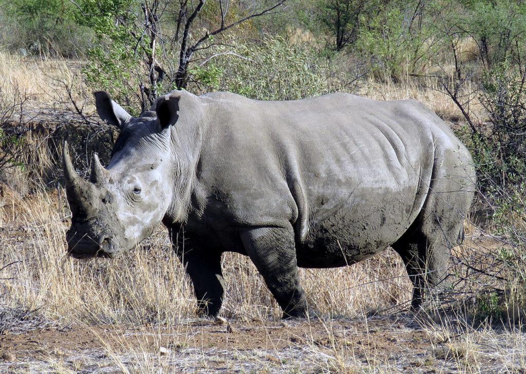 A southern white rhino
