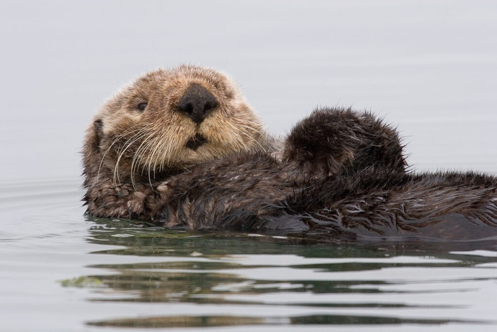 A sea otter floating on the surface of the ocean