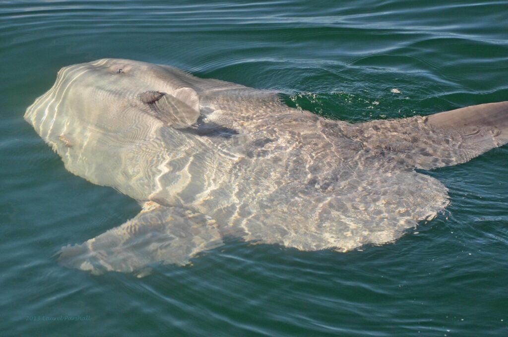 An ocean sunfish basking on its side on the surface of the sea to warm up