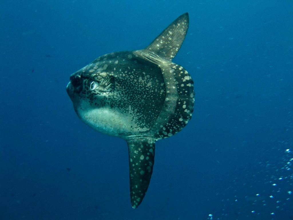 An ocean sunfish in the sea