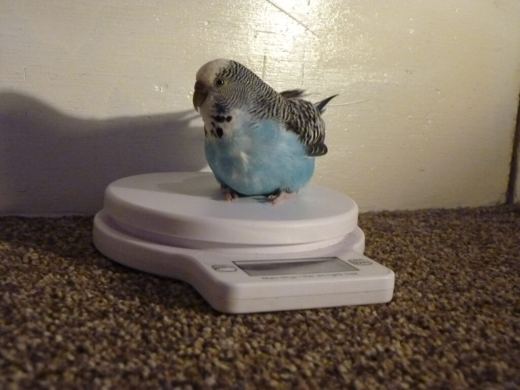 A pet blue budgie being weighed