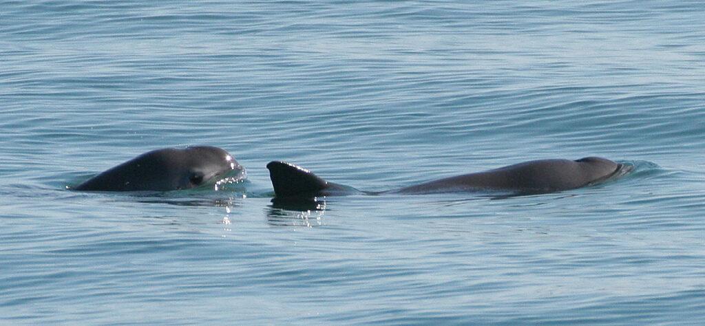 Two vaquita in the ocean