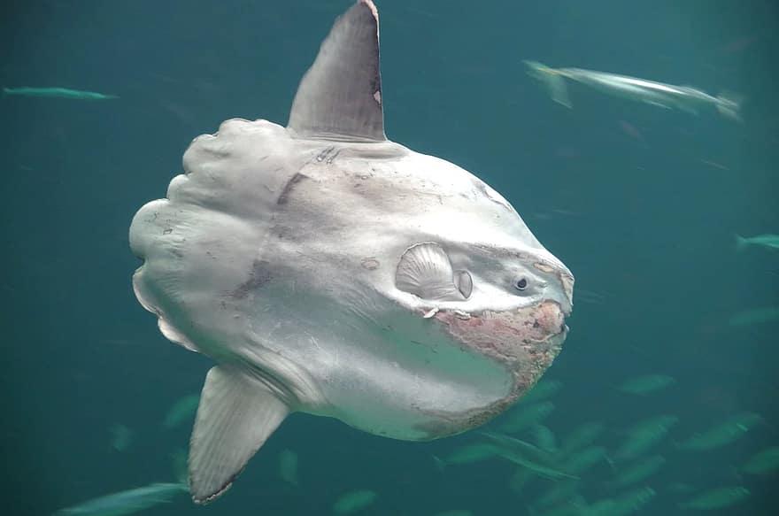 An ocean sunfish in an aquarium
