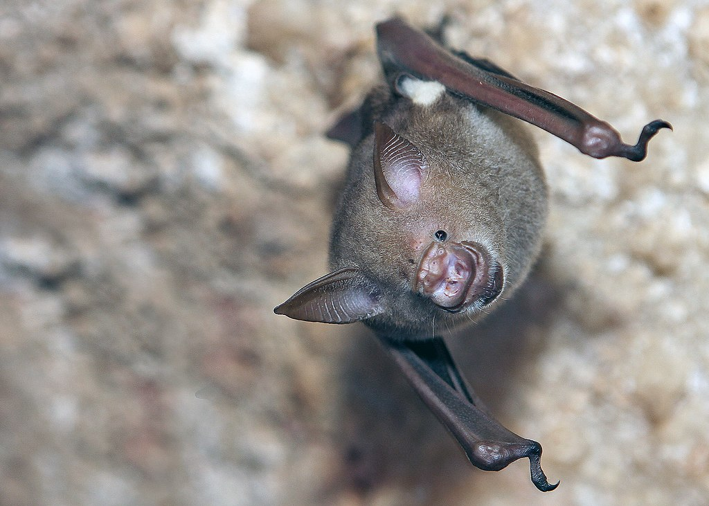 A Commerson's roundleaf bat hanging upside down