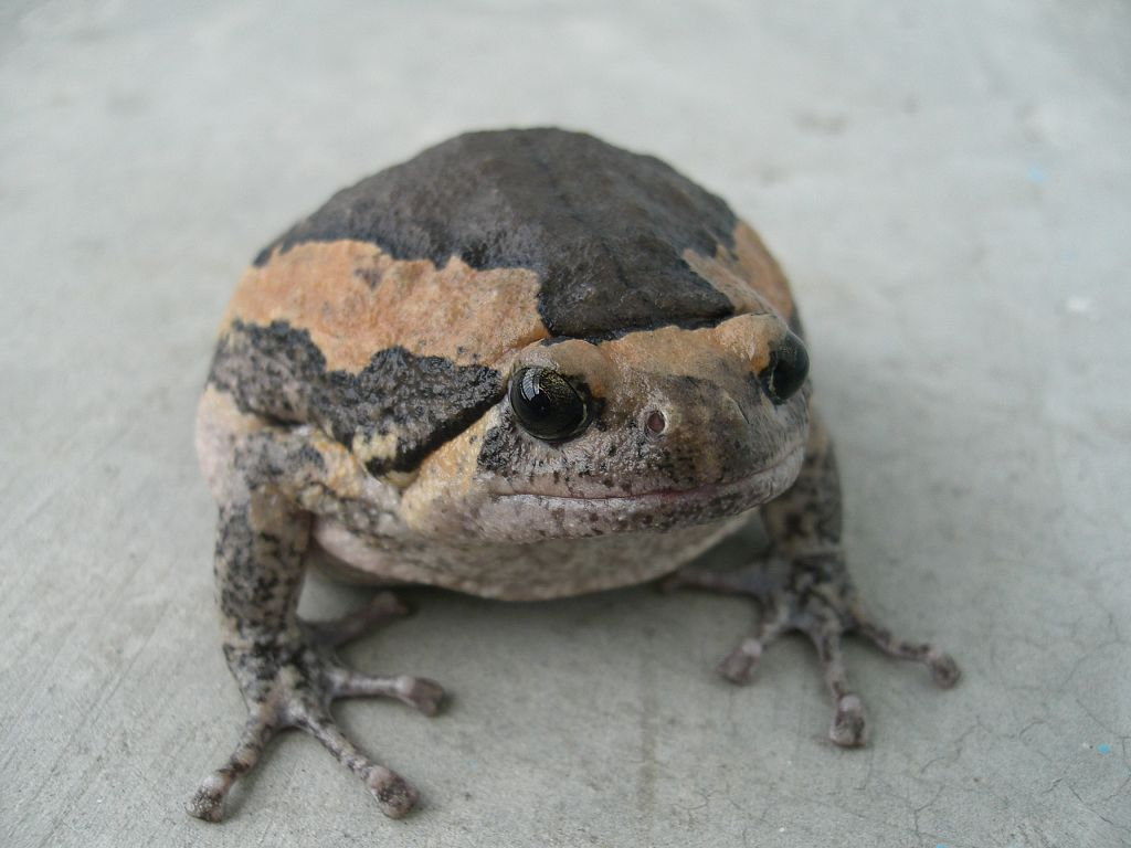 A banded bullfrog, otherwise known as a chubby frog