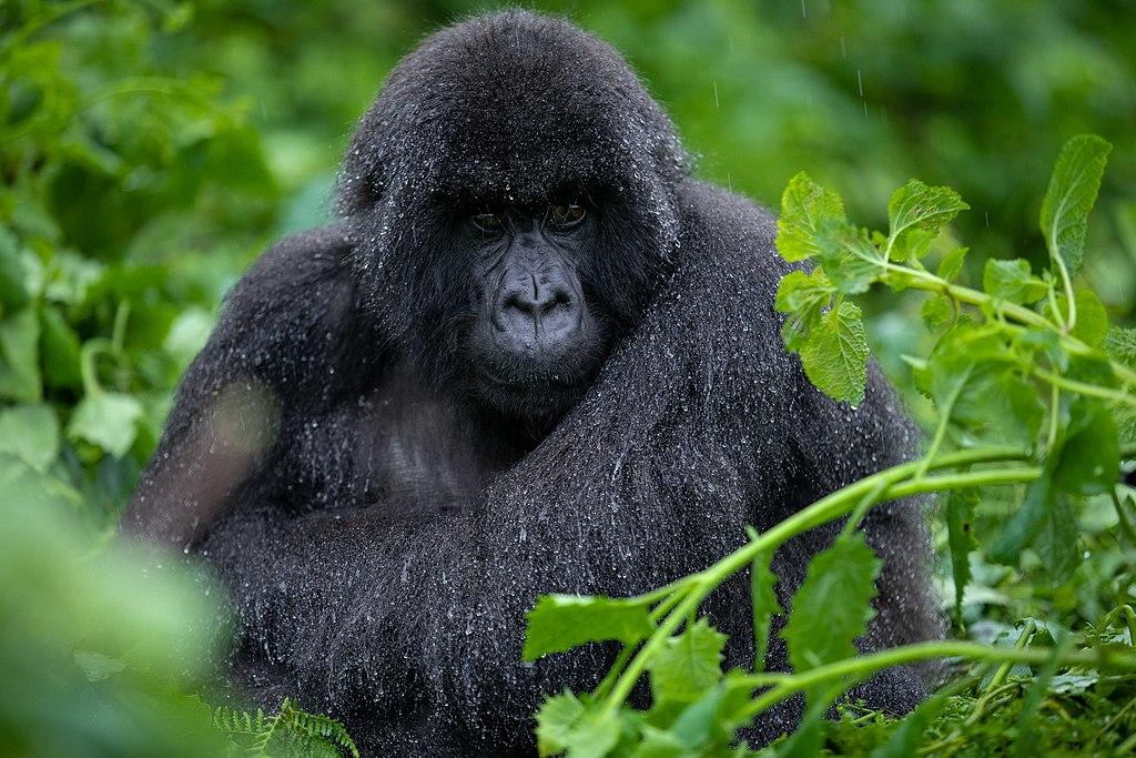 A mountain gorilla in the rain