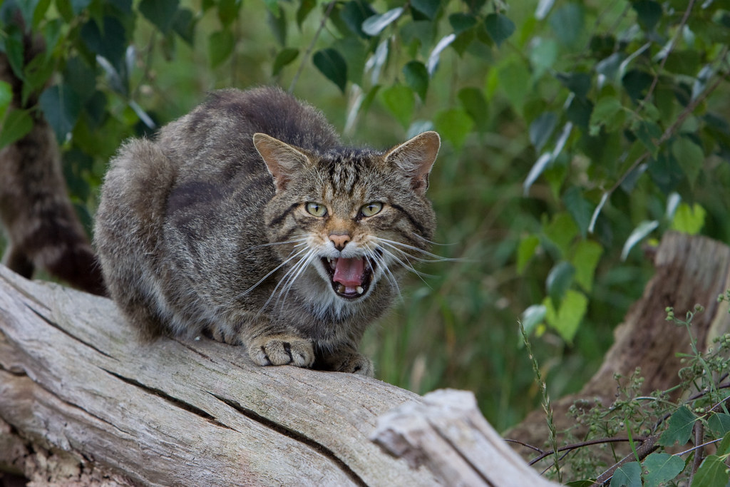 A Scottish wildcat resting on a log