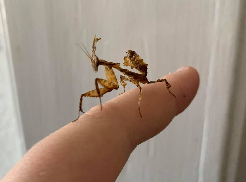 A ghost mantis on a finger