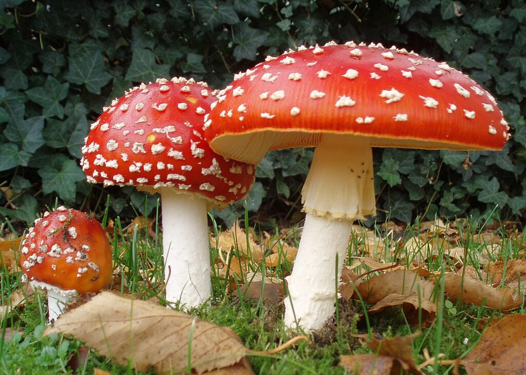 Three fly agaric mushrooms