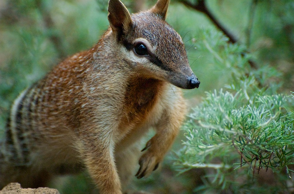 A close-up of a numbat