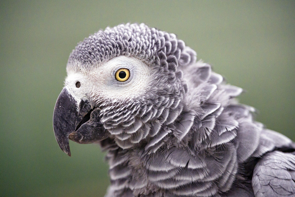 A close-up of an African grey parrot's head