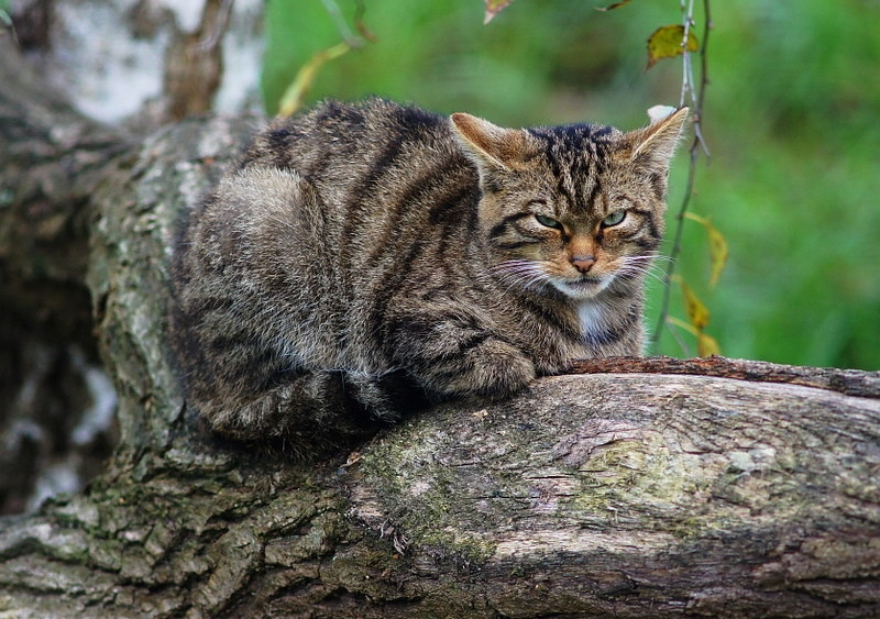 A Scottish wildcat resting in a tree
