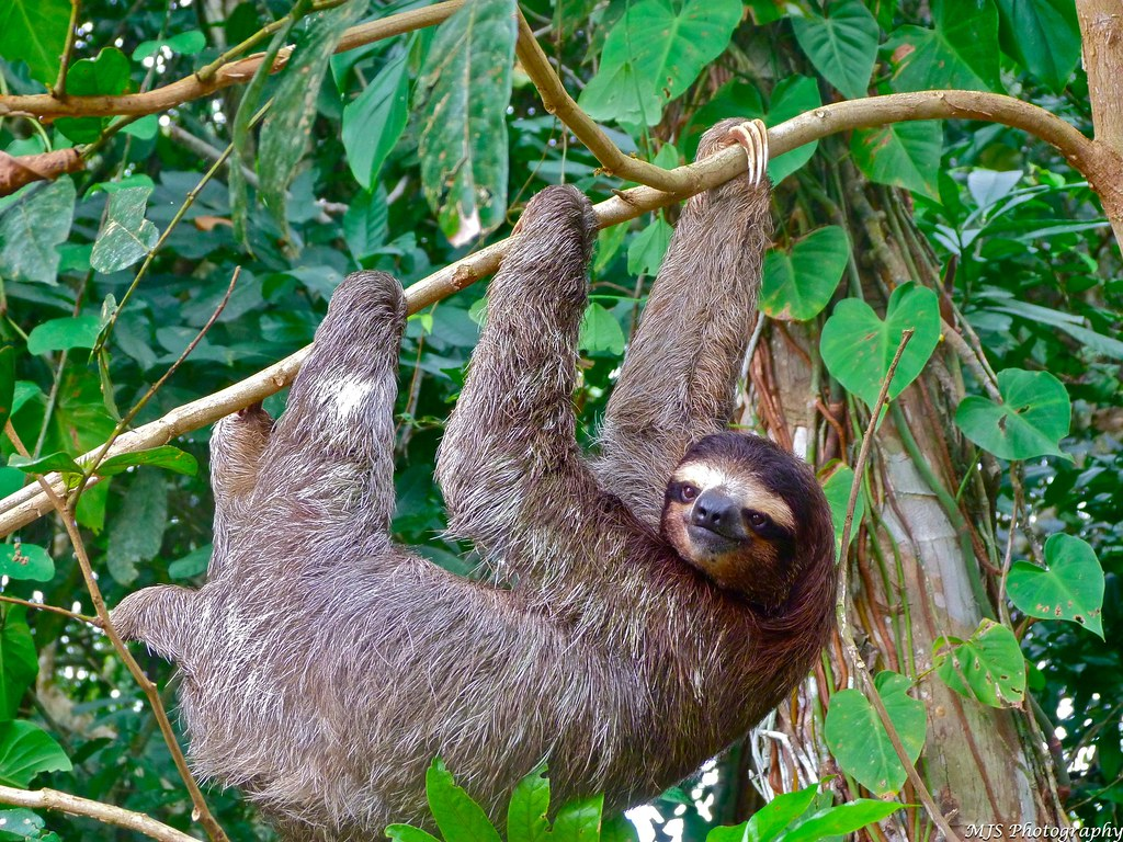 Three-toed sloth hanging upside down in a tree