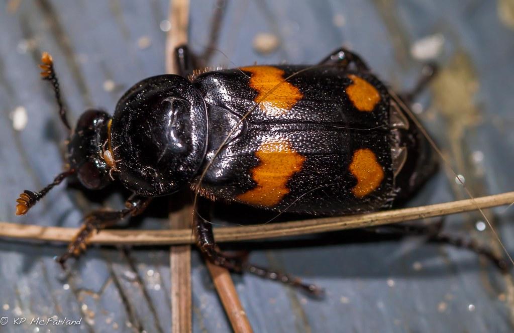 A burying beetle (sexton beetle)