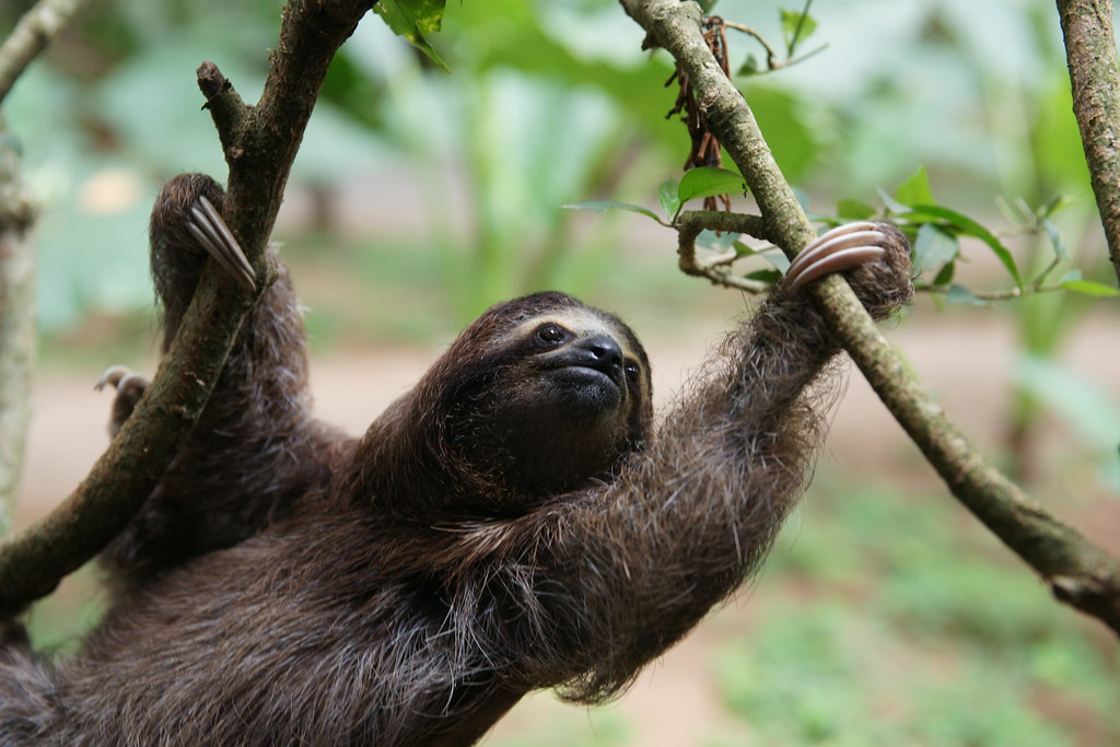 A three-toed sloth hanging from a branch