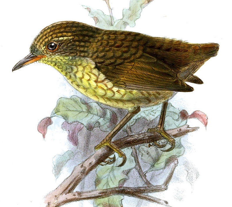A painting of a Stephens Island wren
