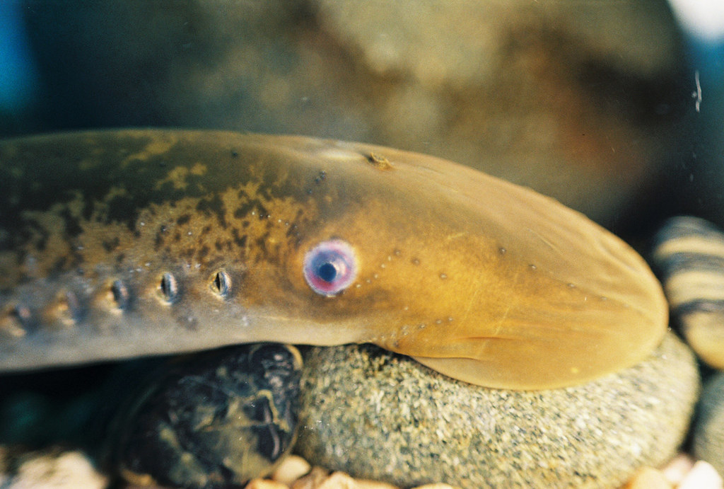 A lamprey using its sucker to attach itself to a rock