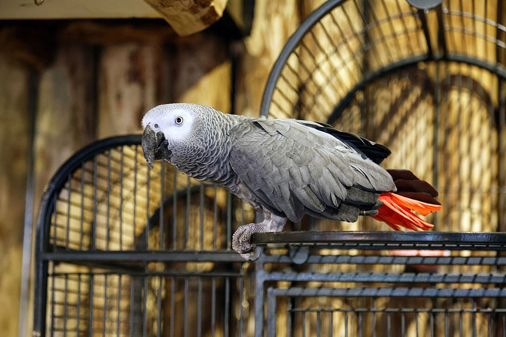 A pet Africa grey parrot with its cage in the background