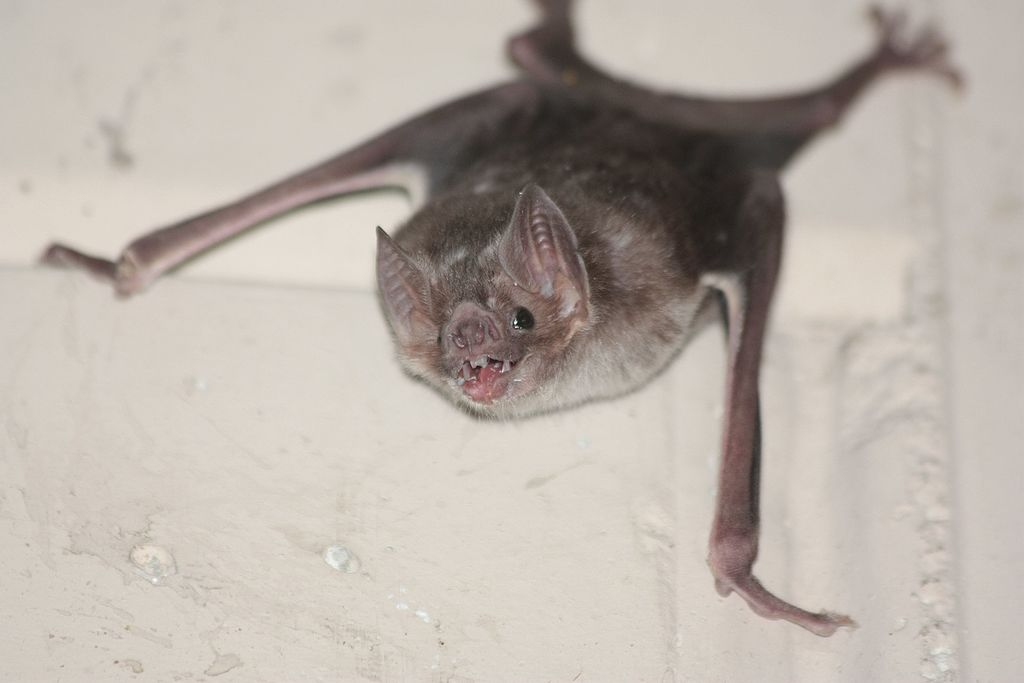 A vampire bat clinging on to a wall