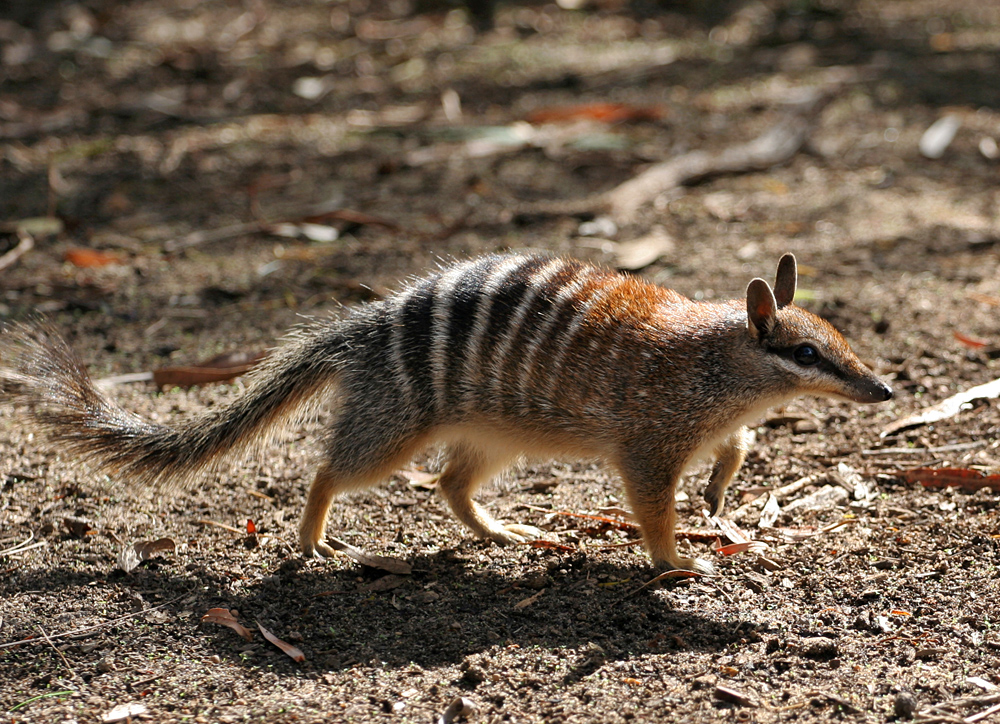 A numbat, also known as a striped anteater