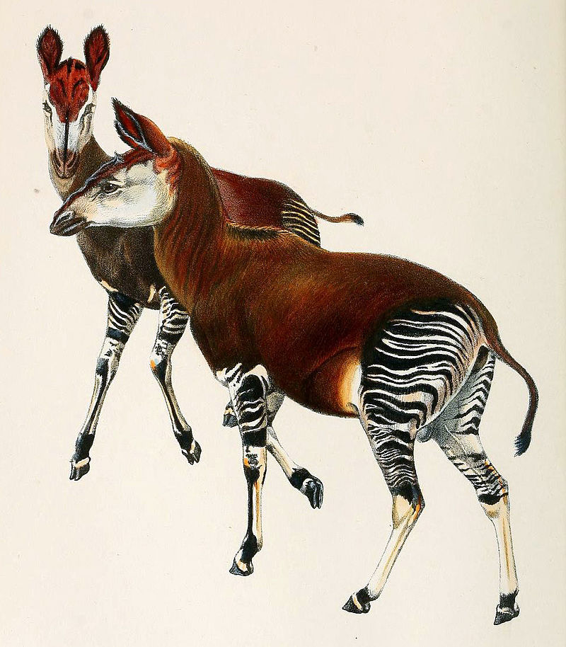 Sir Harry Johnston's painting of the okapi in 1901