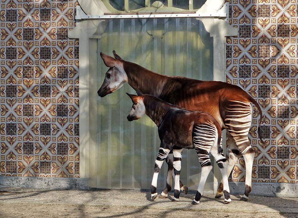 An okapi mother and her calf