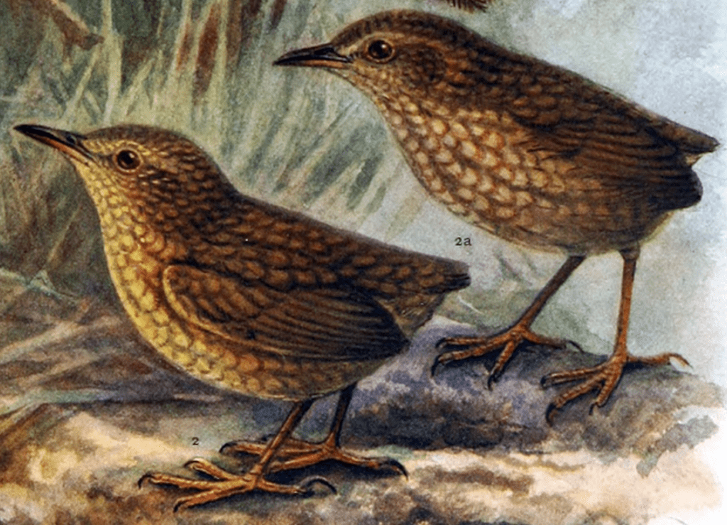 A painting of a pair of Stephens Island wrens