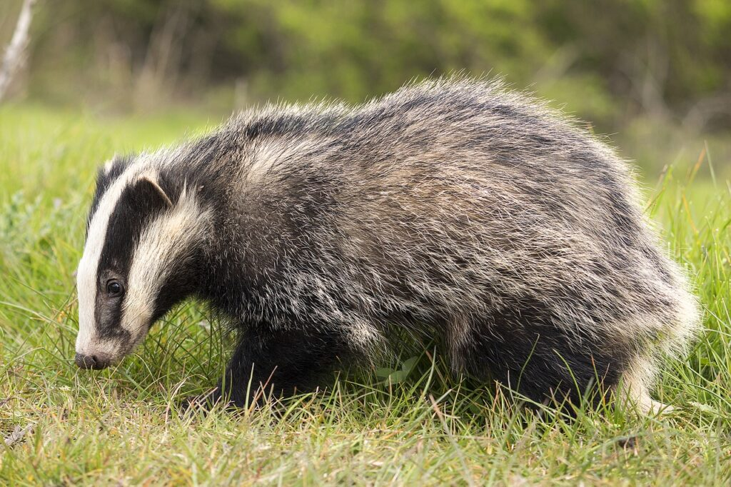 Does badger culling have any impact on bTB levels in cattle?