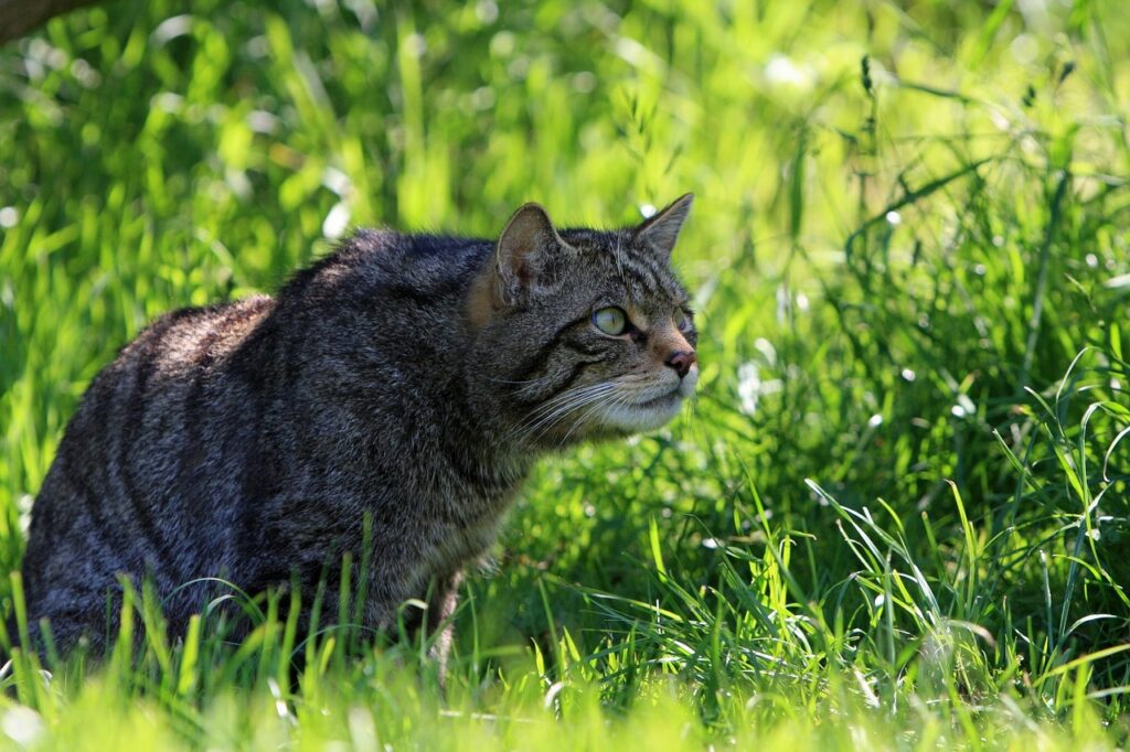 A Scottish wildcat sitting in the grass