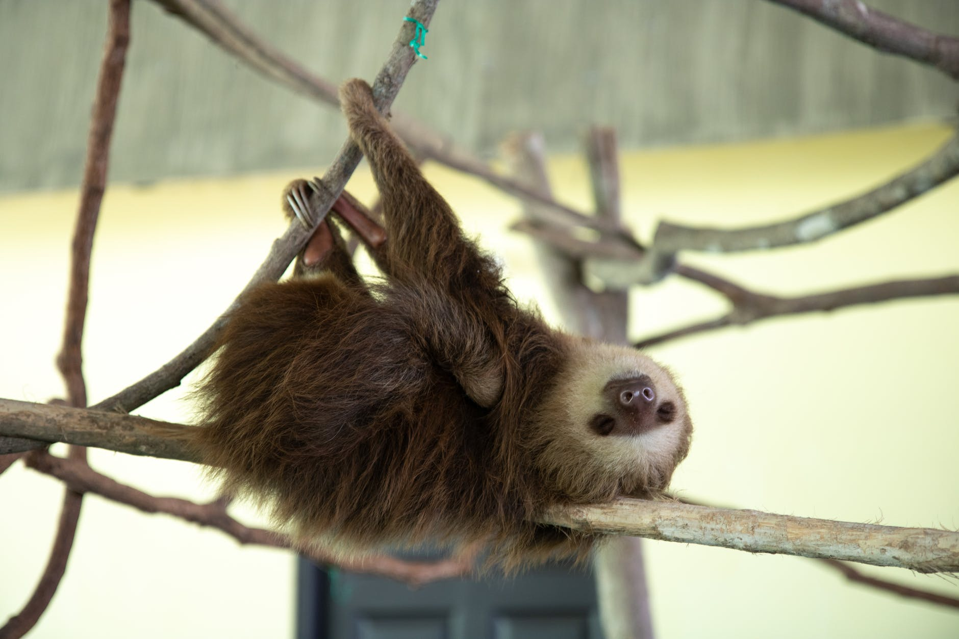 A young two-toed sloth resting on a branch