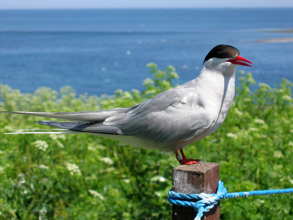 An Arctic tern resting on a post on the Farne Islands