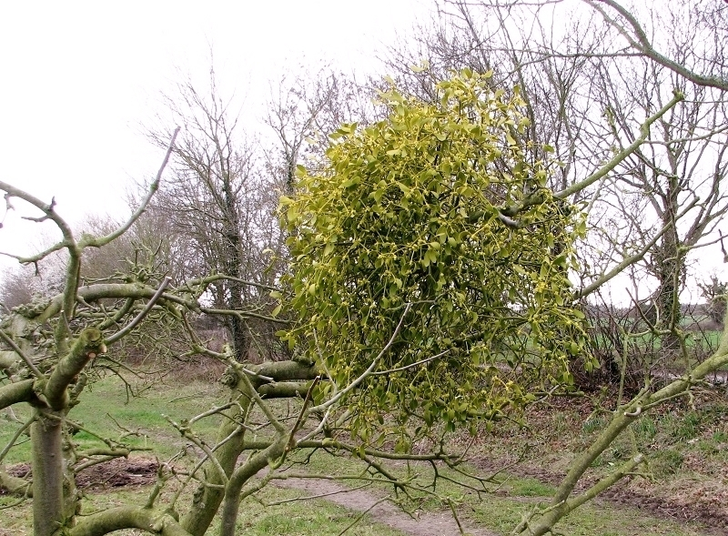 A clump of mistletoe in a tree